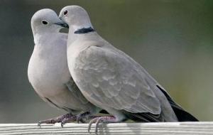 Güvercin Gerdanlıgı
